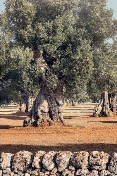 古代オリーブの木々